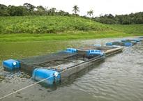 Expansão da aquicultura - Projeto Beijupirá inicia pesquisas para cultivo da espécie