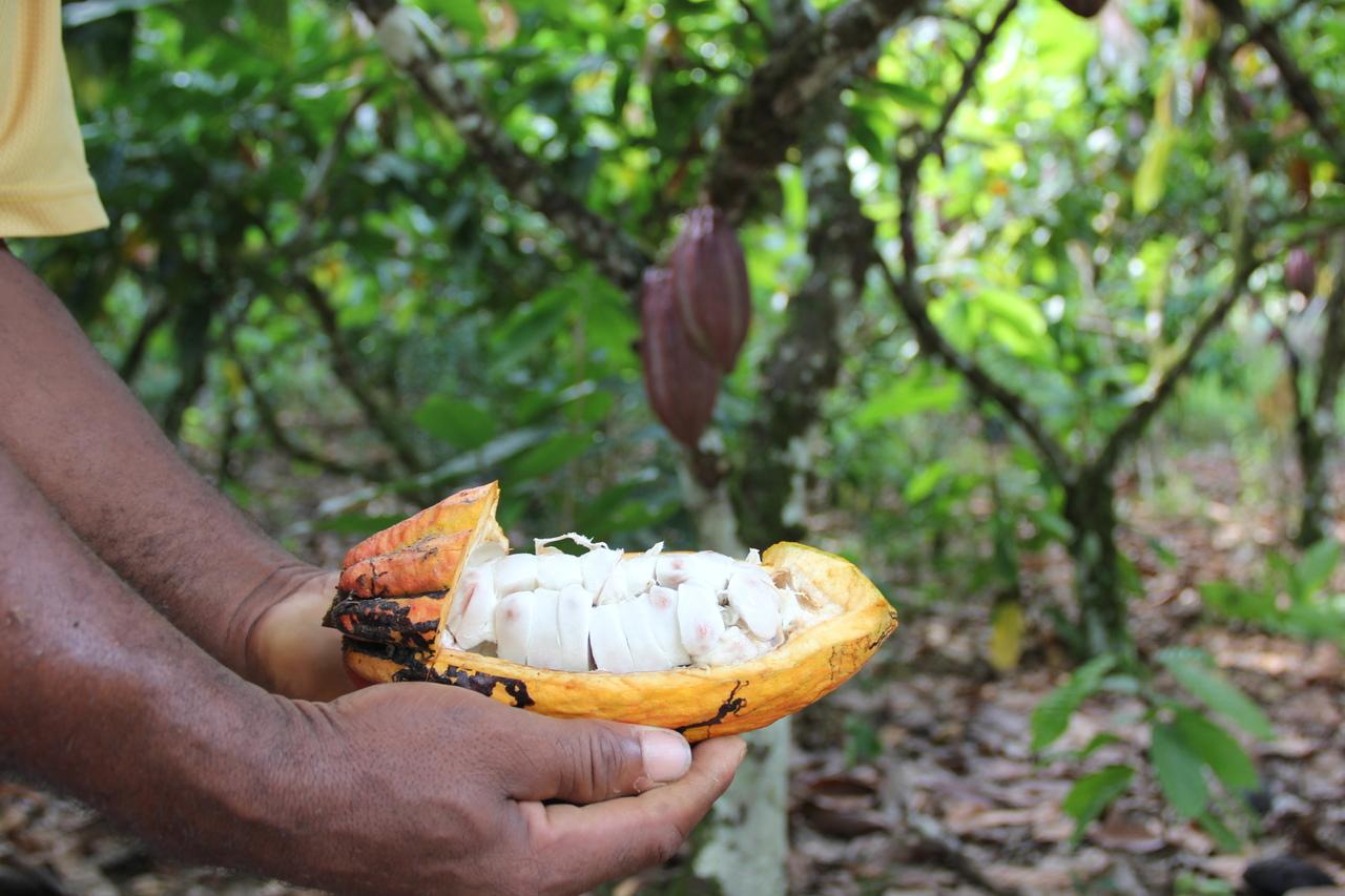 Duas mãos seguram um fruto de cacau cortado